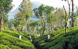 voyage-au-sri-lanka_decouvrir-le-pays-de-lor-vert-plantation-de-the